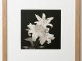 Lilies platinum print